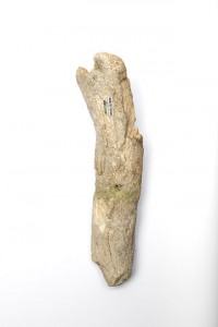 Radius-or-Ulna-of-Wooly-Rhino,medium.1411661108